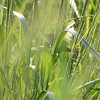 Sedge Wren hiding in the grass <br /> Heron Pond Trail, East side <br /> Riverlands Migratory Bird Sanctuary