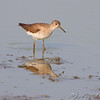 Solitary Sandfpiper  <br /> Riverlands Migratory Bird Sanctuary