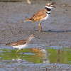 Solitary Sandpiper and Killdeer  <br /> Riverlands Migratory Bird Sanctuary