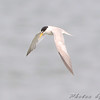 Least Tern  <br /> Riverlands Migratory Bird Sanctuary