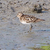 Least Sandpiper  <br /> Riverlands Migratory Bird Sanctuary