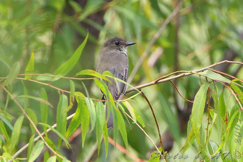 Eastern Phoebe  <br /> Riverlands Migratory Bird Sanctuary