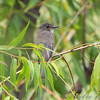 Eastern Phoebe  <br /> Riverlands Migratory Bird Sanctuary