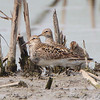 Pectoral Sandpiper <br /> Riverlands Migratory Bird Sanctuary