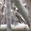 juvenile American Robin <br /> Riverlands Migratory Bird Sanctuary