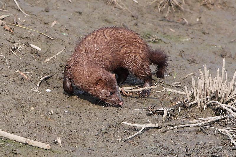 American Mink <br /> Riverlands Migratory Bird Sanctuary