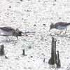 Least Sandpipers  <br /> Riverlands Migratory Bird Sanctuary