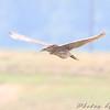 Black-crowned Night-Heron  <br /> Riverlands Migratory Bird Sanctuary