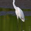 Snowy Egret <br /> Riverlands Migratory Bird Sanctuary