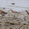 Least Sandpipers and Semipalmated Sandpiper in center  <br /> Riverlands Migratory Bird Sanctuary