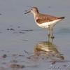 Solitary Sandpiper  <br /> Riverlands Migratory Bird Sanctuary