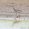 Greater Yellowlegs <br /> Cora Island Road
