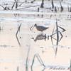 Short-billed Dowitcher  <br /> Riverlands Migratory Bird Sanctuary