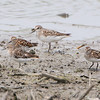 Least Sandpipers and Semipalmated Sandpiper  <br /> Riverlands Migratory Bird Sanctuary