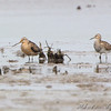 Short-billed Dowitcher and Pectoral Sandpiper <br /> Riverlands Migratory Bird Sanctuary