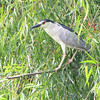 Black-crowned Night-Heron  <br /> Riverlands Migratory Bird Sanctuary