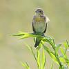 Dickcissel  <br /> Riverlands Migratory Bird Sanctuary