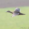 female Wood Duck  <br /> Riverlands Migratory Bird Sanctuary