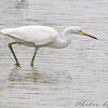 Snowy Egret <br /> Riverlands Migratory Bird Sanctuary