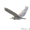 Black-crowned Night-Heron juvenile  <br /> Riverlands Migratory Bird Sanctuary