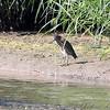 Green Heron <br /> Eagle Bluffs Conversation Area