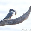Belted Kingfisher <br /> Eagle Bluffs Conversation Area