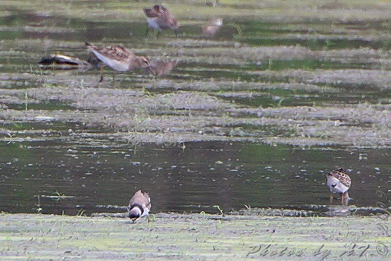 Semipalmated Plover <br /> Sandy Slough Winfield Lock and Dam