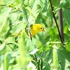 Yellow Warbler  <br /> BK Leach