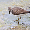 Solitary Sandpiper <br /> Sandy Slough Winfield Lock and Dam