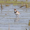 Semipalmated Plover <br /> Riverlands Migratory Bird Sanctuary