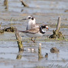 Semipalmated Plover and Black Tern <br /> Riverlands Migratory Bird Sanctuary