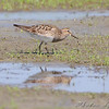 Pectoral Sandpiper <br /> Riverlands Migratory Bird Sanctuary