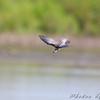 Black Tern <br /> Riverlands Migratory Bird Sanctuary