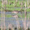 Short -billed Dowitcher <br /> Heron Pond <br /> Riverlands Migratory Bird Sanctuary