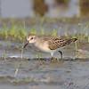 Least Sandpiper  <br /> Heron Pond <br /> Riverlands Migratory Bird Sanctuary
