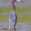 Little Blue Heron <br /> Heron Pond <br /> Riverlands Migratory Bird Sanctuary
