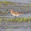 Pectoral Sandpiper <br /> Heron Pond <br /> Riverlands Migratory Bird Sanctuary