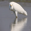 Oops, dropped it <br /> Snowy Egret <br /> Heron Pond <br /> Riverlands Migratory Bird Sanctuary