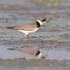 Semipalmated Plover <br /> Heron Pond <br /> Riverlands Migratory Bird Sanctuary