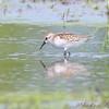 Western Sandpiper? <br /> Riverlands Migratory Bird Sanctuary