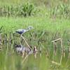 Little blue Heron <br /> Riverlands Migratory Bird Sanctuary