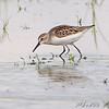 Western Sandpiper <br /> Riverlands Migratory Bird Sanctuary