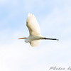Great Egret <br /> Riverlands Migratory Bird Sanctuary