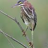 Green Heron <br /> Riverlands Migratory Bird Sanctuary