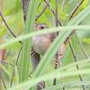 Sedge Wren <br /> Riverlands Migratory Bird Sanctuary
