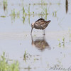 Short-billed Dowitcher <br /> Riverlands Migratory Bird Sanctuary