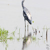 Little Blue Heron <br /> Riverlands Migratory Bird Sanctuary
