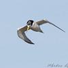 Least Tern <br /> Riverlands Migratory Bird Sanctuary