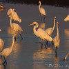 Great Egrets <br /> Cora Island Road