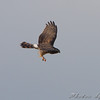 Northern Harrier <br /> Confluence Road <br /> Riverlands Migratory Bird Sanctuary